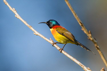 Green-tailed Sunbird (Aethopyga nipalensis) male, Doi Inthanon National Park, Thailand  -  Bob Steele/ BIA
