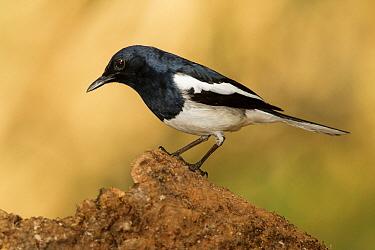 Oriental Magpie-Robin (Copsychus saularis), Doi Ang Khang, Thailand  -  Bob Steele/ BIA