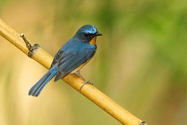 Hill Blue-Flycatcher (Cyornis banyumas) male, Doi Ang Khang, Thailand  -  Bob Steele/ BIA