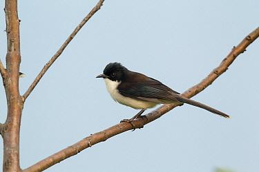 Black-headed Sibia (Heterophasia melanoleuca), Doi Ang Khang, Thailand  -  Bob Steele/ BIA
