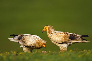 Egyptian Vulture (Neophron percnopterus) pair, Castile-La Mancha, Spain  -  Oscar Diez/ BIA