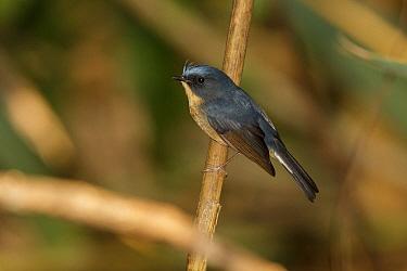 Slaty-blue Flycatcher (Ficedula tricolor) male, Doi Lang, Thailand  -  Bob Steele/ BIA