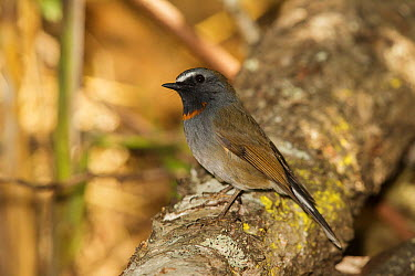 Rufous-gorgeted Flycatcher (Ficedula strophiata) male, Doi Lang, Thailand  -  Bob Steele/ BIA