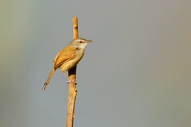 Rufescent Prinia (Prinia rufescens), Doi Lang, Thailand  -  Bob Steele/ BIA