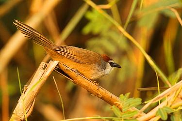 Chestnut-capped Babbler (Timalia pileata), Doi Lang, Thailand  -  Bob Steele/ BIA