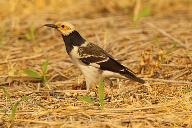 Black-collared Starling (Gracupica nigricollis), Doi Lang, Thailand  -  Bob Steele/ BIA