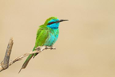 Little Green Bee-eater (Merops orientalis), Oman  -  Ralph Martin/ BIA