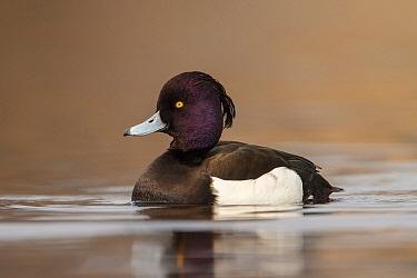 Tufted Duck (Aythya fuligula) drake, Utrecht, Netherlands  -  Walter Soestbergen/ BIA