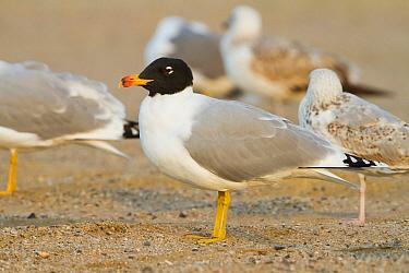 Pallas's Gull (Ichthyaetus ichthyaetus), Oman  -  Ralph Martin/ BIA