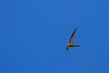 Pallid Swift (Apus pallidus), Oman  -  Ralph Martin/ BIA