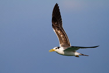 Greater Crested Tern (Thalasseus bergii), Oman  -  Ralph Martin/ BIA