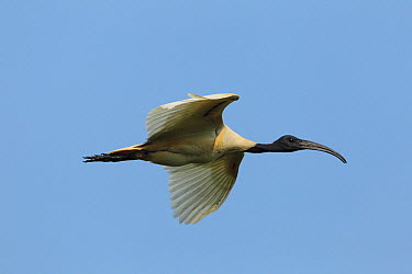 Black-headed Ibis (Threskiornis melanocephalus), Sri Lanka  -  David Williams/ BIA