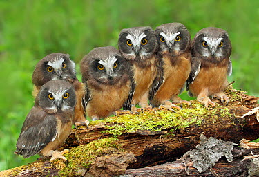 Northern Saw-whet Owl (Aegolius acadicus) chicks, Saskatchewan, Canada  -  Nick Saunders/ BIA
