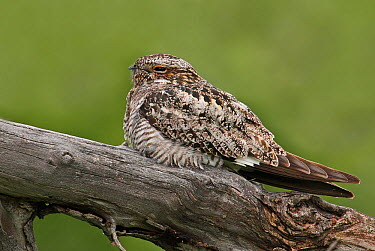 Common Nighthawk (Chordeiles minor), Saskatchewan, Canada  -  Nick Saunders/ BIA