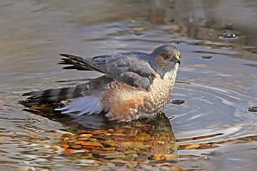 Sharp-shinned Hawk (Accipiter striatus), Saskatchewan, Canada  -  Nick Saunders/ BIA