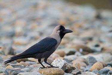 House Crow (Corvus splendens), Oman  -  Ralph Martin/ BIA
