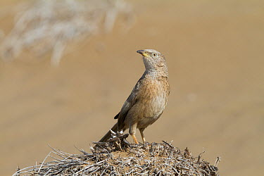 Arabian Babbler (Turdoides squamiceps), Oman  -  Ralph Martin/ BIA