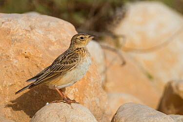 Oriental Skylark (Alauda gulgula), Oman  -  Ralph Martin/ BIA