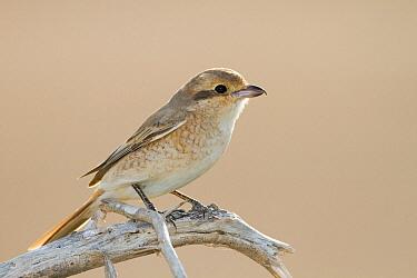 Rufous-tailed Shrike (Lanius isabellinus), Oman  -  Ralph Martin/ BIA