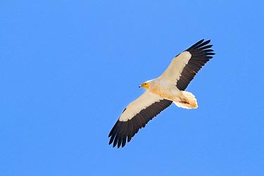 Egyptian Vulture (Neophron percnopterus), Oman  -  Ralph Martin/ BIA