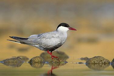 Whiskered Tern (Chlidonias hybrida), Victoria, Australia  -  Rob Drummond/ BIA