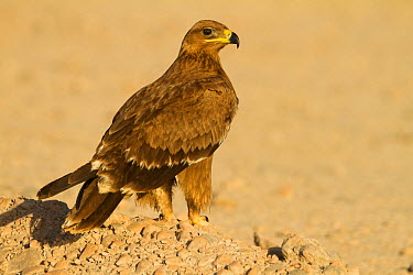 Steppe Eagle (Aquila nipalensis), Oman  -  Ralph Martin/ BIA