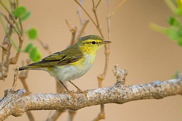 Wood Warbler (Phylloscopus sibilatrix), Oman  -  Ralph Martin/ BIA