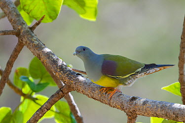 Bruce's Green-Pigeon (Treron waalia), Oman  -  Ralph Martin/ BIA