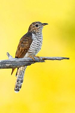 Brush Cuckoo (Cacomantis variolosus), Magnetic Island, Queensland, Australia  -  Jan Wegener/ BIA