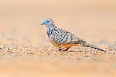 Peaceful Dove (Geopelia placida), Magnetic Island, Queensland, Australia  -  Jan Wegener/ BIA