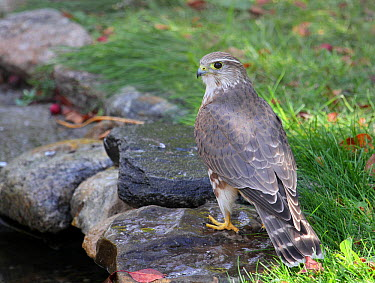 Merlin (Falco columbarius), Saskatchewan, Canada  -  Nick Saunders/ BIA