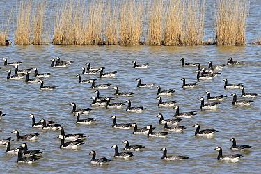 Barnacle Goose (Branta leucopsis) flock, Lower Saxony, Germany  -  Folkert Christoffers/ BIA