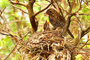 Song Thrush (Turdus philomelos) feeding begging chick at nest, Lower Saxony, Germany  -  Folkert Christoffers/ BIA