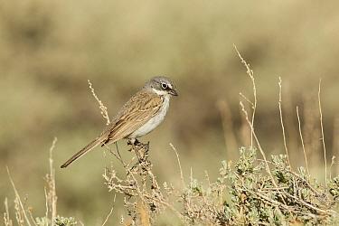 Sage Sparrow (Amphispiza belli), Mono County, California  -  Bob Steele/ BIA