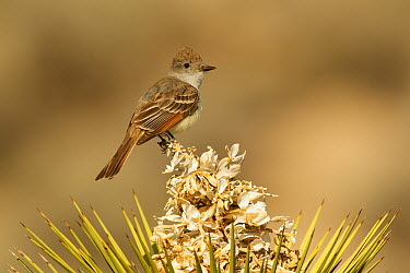 Ash-throated Flycatcher (Myiarchus cinerascens), Kern County, California  -  Bob Steele/ BIA