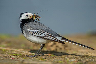 White Wagtail (Motacilla alba) male carrying insect prey, Schleswig-Holstein, Germany  -  Peter Hering/ BIA
