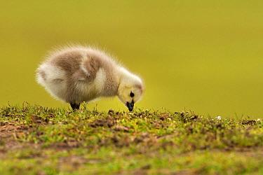 Barnacle Goose (Branta leucopsis) chick, Utrecht, Netherlands  -  Walter Soestbergen/ BIA