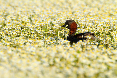 Little Grebe (Tachybaptus ruficollis), Castile-La Mancha, Spain  -  Oscar Diez/ BIA
