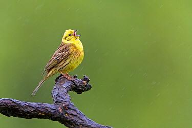 Yellowhammer (Emberiza citrinella) singing male, Saxony-Anhalt, Germany  -  Thomas Hinsche/ BIA