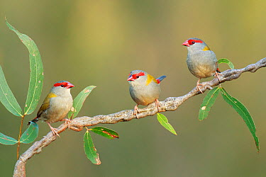 Red-browed Firetail (Neochmia temporalis) group, Victoria, Australia  -  Jan Wegener/ BIA
