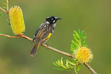 New Holland Honeyeater (Phylidonyris novaehollandiae), Victoria, Australia  -  Jan Wegener/ BIA