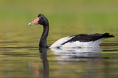 Magpie Goose (Anseranas semipalmata), Australia  -  Jan Wegener/ BIA