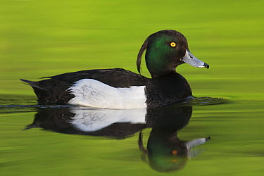 Tufted Duck (Aythya fuligula) male, Brandenburg, Germany  -  Jan Wegener/ BIA