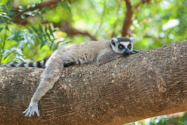Ring-tailed Lemur (Lemur catta) male resting, Berenty Private Reserve, Madagascar  -  Suzi Eszterhas