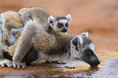 Ring-tailed Lemur (Lemur catta) mother drinking with baby on back, Berenty Private Reserve, Madagascar  -  Suzi Eszterhas