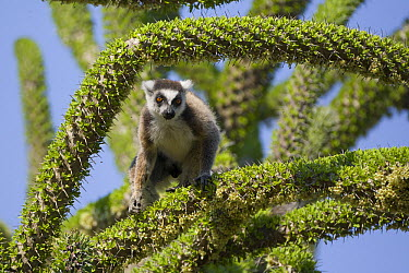 Ring-tailed Lemur (Lemur catta) in an Octopus Tree (Didierea trollii), Berenty Private Reserve, Madagascar  -  Suzi Eszterhas