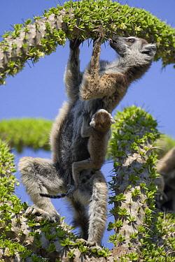 Ring-tailed Lemur (Lemur catta) mother with week-old baby feeding on an Octopus Tree (Didierea trollii), Berenty Private Reserve, Madagascar  -  Suzi Eszterhas
