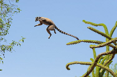 Ring-tailed Lemur (Lemur catta) leaping from Octopus Tree (Didierea trollii) to another, Berenty Private Reserve, Madag ascar  -  Suzi Eszterhas
