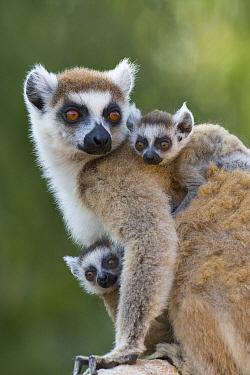Ring-tailed Lemur (Lemur catta) mother and week-old twins, Berenty Private Reserve, Madagascar  -  Suzi Eszterhas