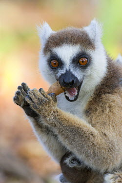 Ring-tailed Lemur (Lemur catta) mother cracking open seed pod, Berenty Private Reserve, Madagascar  -  Suzi Eszterhas